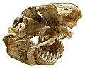 Dalatias licha skull.jpg
