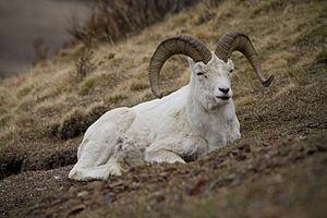 Dall sheep - Dall ram in Denali National Park in Alaska