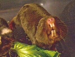 Damaraland mole-rat.jpg