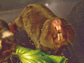 Blesmol - Damaraland mole-rat