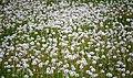 Dandelions (14793610376).jpg
