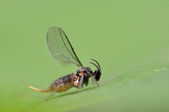 Dasineura brassicae adult (24562493456).jpg