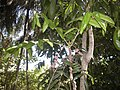 Davidsonia pruriens flowers and foliage.jpg