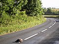 Dead badger, Kennels Road near Churston - geograph.org.uk - 864612.jpg