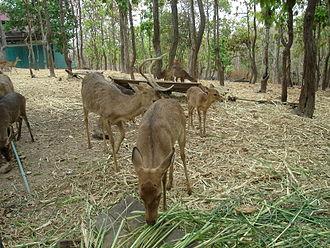 Eld's deer - Panolia eldi siamens of Thailand, Laos, Cambodia, and Vietnam