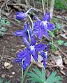 Delphinium tricorne Kentucky.jpg