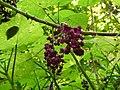 Dendrocnide moroides fruits SF21168.jpg