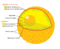 Diagram human cell nucleus ru.svg