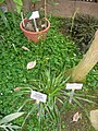 Dianella intermedia - Berlin Botanical Garden - IMG 8760.JPG