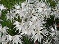 Dianthus arenarius 3.JPG