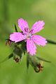 Dianthus armeria 8942.jpg
