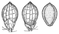 Dichanthelium acuminatum var fasciculatum (as Panicum fasciculatum) HC-1910.png