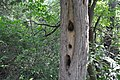 Did wood peckers cause this? (20129742534).jpg