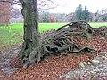 Die Erosion legt die Wurzeln frei. - panoramio.jpg