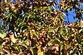 Diospyros kaki 15 2017-11-13.jpg