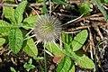 Dipsacus fullonum - Teasel - geograph.org.uk - 519135.jpg