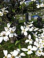 Dogwood Blossoms at Congressional Cemetery.jpg