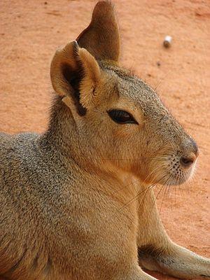 Mara (mammal) - Image: Dolichotis patagonum closeup