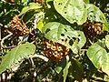 Dombeya fruits02.jpg