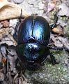 Dor Beetle. Geotrupes stercorarius^ . Scarabidae - Flickr - gailhampshire (4).jpg