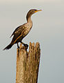 Double Crested Cormorant in the Sunset.jpg