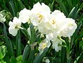 Double daffodil narcissus bridal crown 2.jpg
