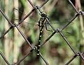 Dragonfly - Sieboldius albardae - 小鬼蜻蜒(コオニヤンマ) (7600097440).jpg