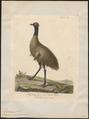 Dromaius novae hollandiae - 1789 - Print - Iconographia Zoologica - Special Collections University of Amsterdam - UBA01 IZ18900039.tif