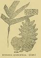 Drynaria quercifolia Beddome.png