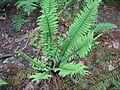 Dryopteris polylepis.JPG