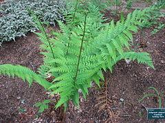 240px dryopteris x australis