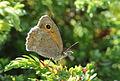 Dusky Meadow Brown - Hyponephele lycaon - Küçük Esmerperi.jpg