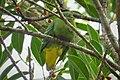 Dwarf Fruit Dove. Ptilinopus nainus (48694013797) (cropped).jpg