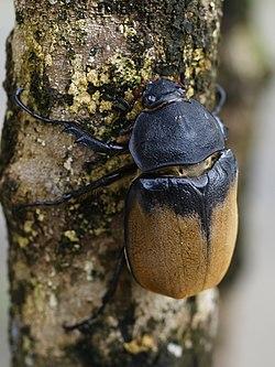 Une femelle de 8 cm de long, dans son milieu naturel, au Costa Rica