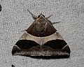 Dysgonia torrida (Erebidae- Erebinae) (26624425533).jpg