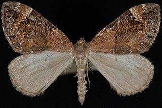 <i>Dysstroma ochrofuscaria</i> species of insect
