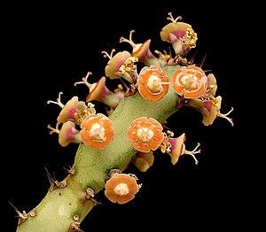 Euphorbiaceae - Cyathia of a Euphorbia (E. baylissii)