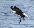 Eagles conowingo (17661384719).jpg