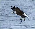 Eagles conowingo (17661384719).jpg