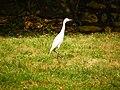 Eastern Cattle Egret Walking on Chengkungling Grass 20121006.jpg