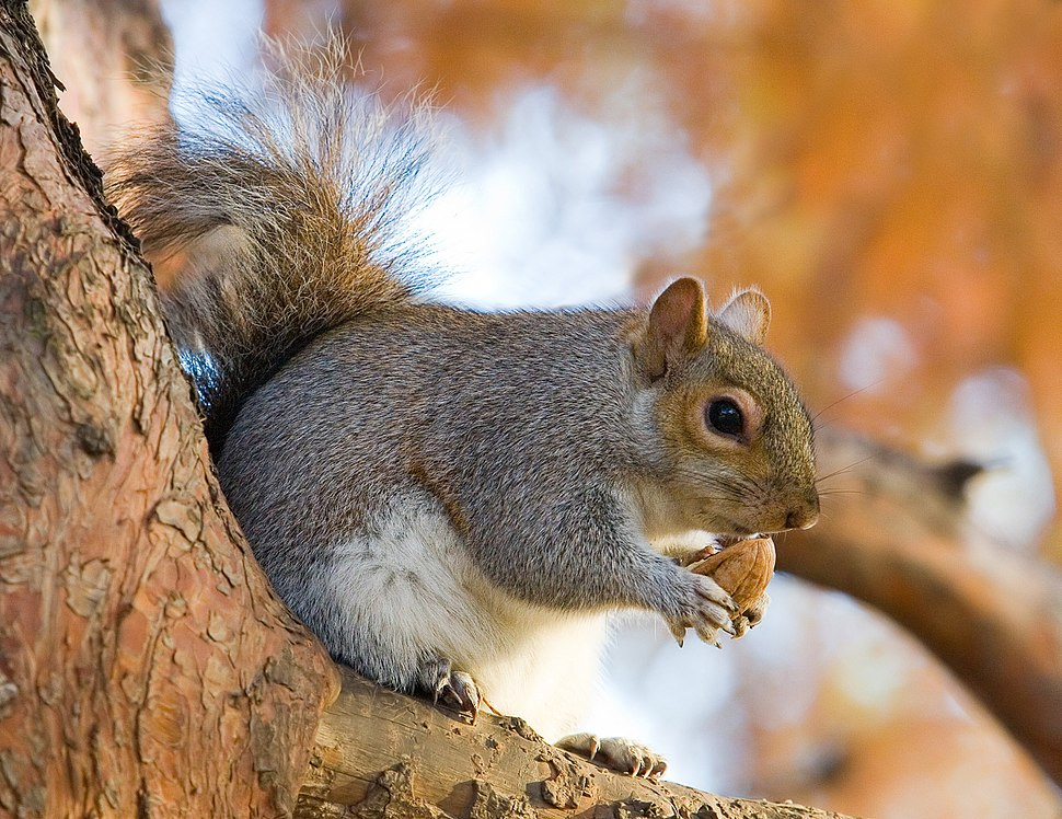 Eastern Grey Squirrel in St James's Park, London - Nov 2006 edit