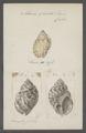 Eburna spirata - - Print - Iconographia Zoologica - Special Collections University of Amsterdam - UBAINV0274 074 01 0003.tif