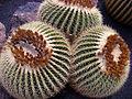 Echinocactus grusonii Gruppe.jpg