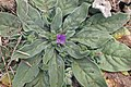 Echium plantagineum kz5.jpg