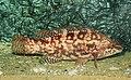 Ecomare - gevlekte lipvis (gevlekte-lipvis-4983-sd).jpg