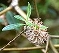 Edgeworthia gardneri in Christchurch Botanic Gardens 02.jpg