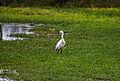 Egretta thula, Villa Wetlands, Chorrillos, Peru 08.jpg