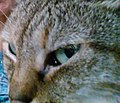 Egyptian Mau's eyes change from pale green to turquoise.jpg