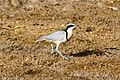 Egyptian Plover (Pluvianus aegyptius) at the Bénoué National Park 03.jpg