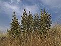 El entorno del Malvavisco loco - Lavatera triloba (7463920750).jpg